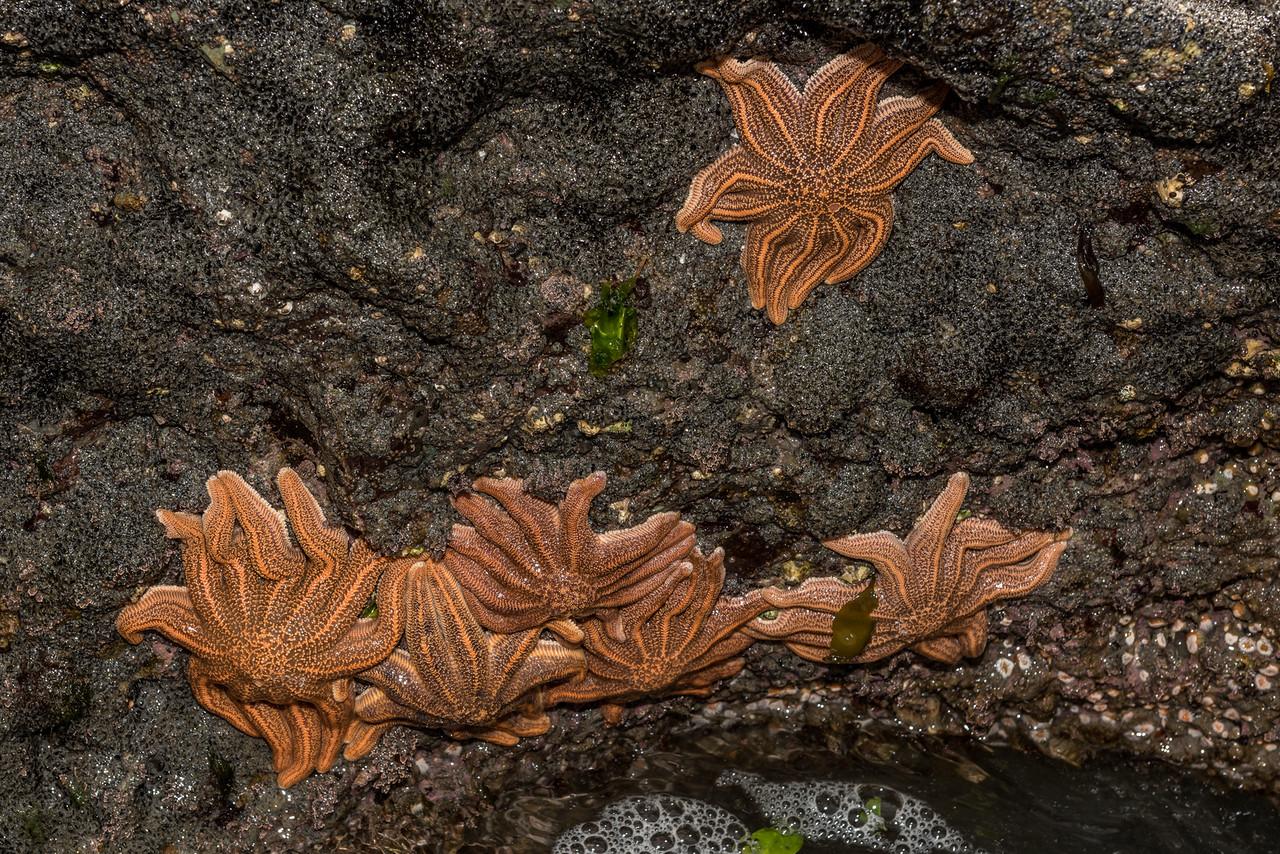 Reef starfish (Stichaster australis). Westland starfish colony.