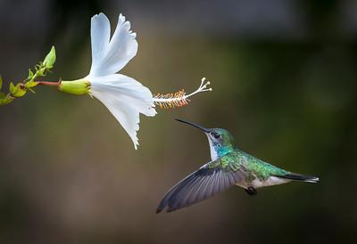 Female Sapphire-throated hummingbird