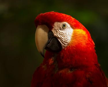 Fancy Macaw