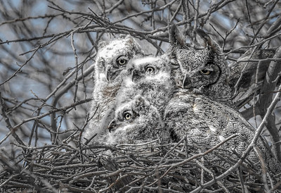Great Horned Owl and Owlets