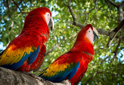 Fancy Macaws