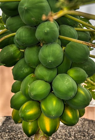 Papaya harvest