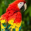 Macaw - Panama