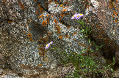 Aster, granite and lichen