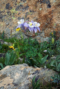 Columbine and rock