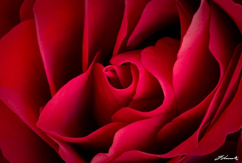 Välillä olen huono antamaan kukkia joten tässä Arvon Naisille ruusu...