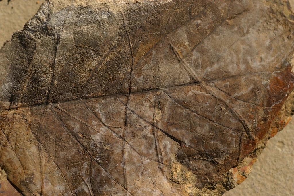 Fossil alder leaf, Eocene Sandstone, Herren Formation, Pilot Rock, Oregon.