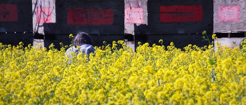 """A few rustic boxcars labeled """"Scorsur"""" stood at the back of the field. A Google search identified Benjamin Scorsur as a pioneer in the Santa Clara County fruit industry who immigrated from his native Austria back in 1871. In the foreground, a Vietnamese woman is picking mustard leaves."""