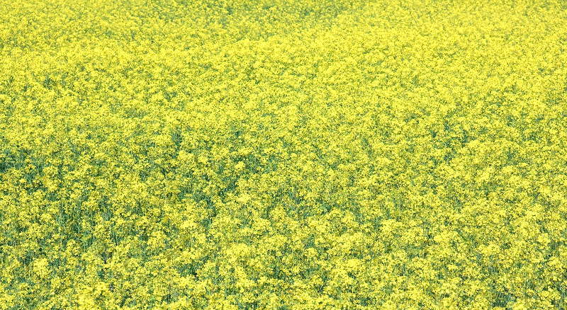 This double exposure of the mustard plants shows how expansive the field was.