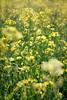 Mustard plants.