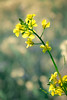 A blooming mustard plant.