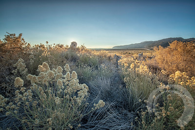 Rabbitbrush Sunrise