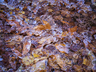 Ice Caterpillars Among the Leaves