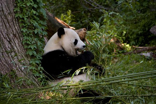 Giant Panda at breakfast
