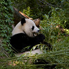 Giant Panda at breakfast
