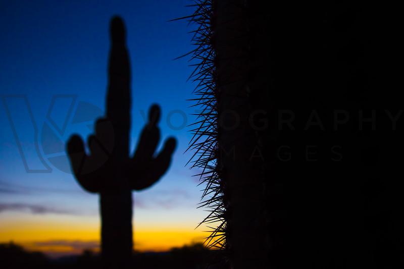 Saguaro Cacti At Sunset, Sonoran Desert, Arizona