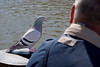 Brave Pigeon. perched close to fellow sitting near me at Pittsford Landing.