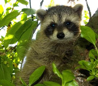 Baby Raccoon finger lakes