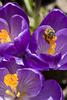 Honey Bee gathering nectar. finger lakes