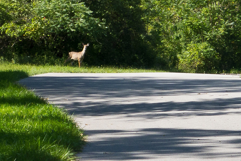 Another deer on the bike path Sept 16, 2011 by Buffalo road.