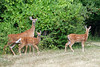 Saw these deer on my bike ride along the Erie Canal. July 27, 2011