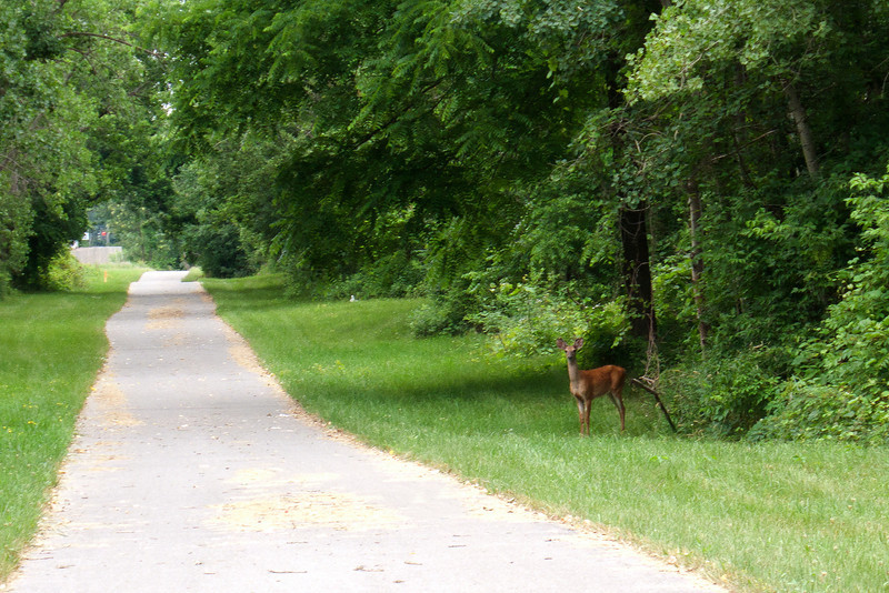 Young buck I saw on my bike ride along the Erie Canal trail 6.29.11