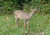 Doe I saw on the Canal trail this morning 10/12/12 by rt 490 underpass.