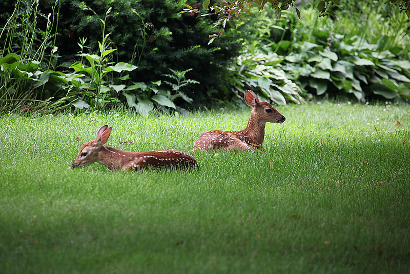 Deer in my front yard
