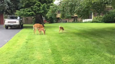 cell phone video Deer feeding