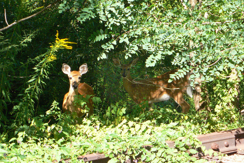 Young Fawns seen along the Erie canal bike path. Gates, NY