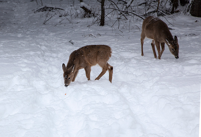 Mendon Ponds Park day after a snow fall.  This fawn is going after a carrot I found and tossed at her.  Bigger mama is behind.