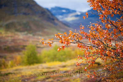 Rødkledd fjellbjørk