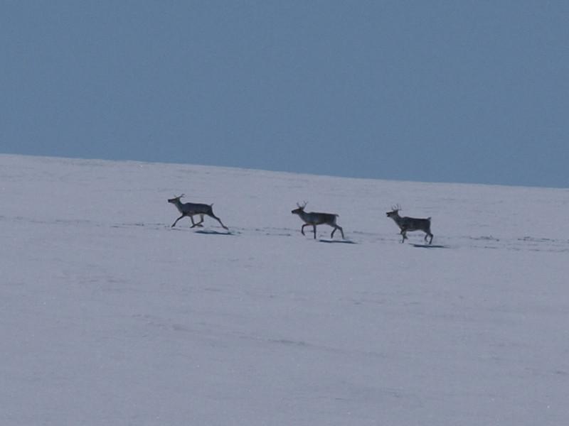 Wild reindeer in Rondane