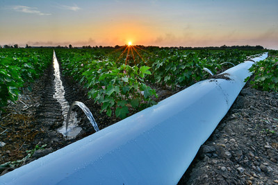 Sunset as irrigation water creeps between rows of blooming cotton - near Nitta Yuma (Sharkey County), Mississippi
