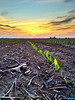 A little corn peeking out of the ground near Elizabeth, Mississippi