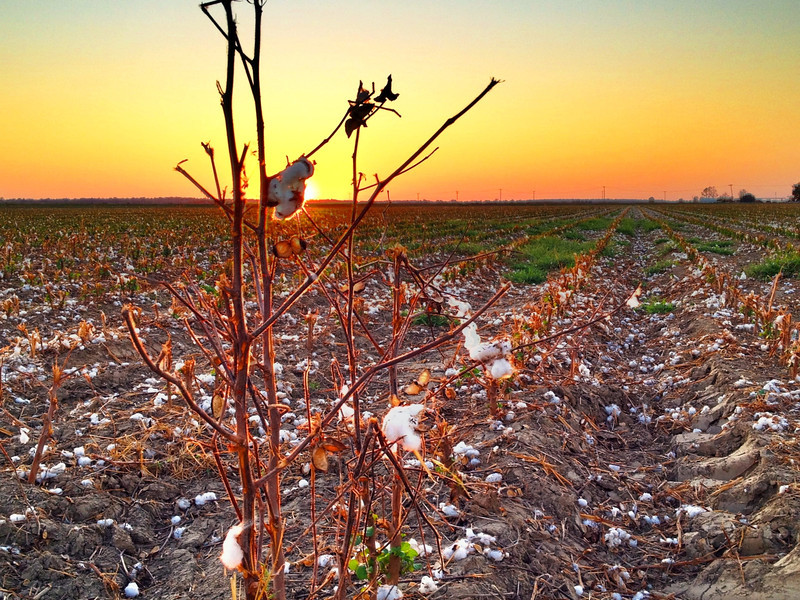 Cotton's Last Stand - Stoneville, Mississippi
