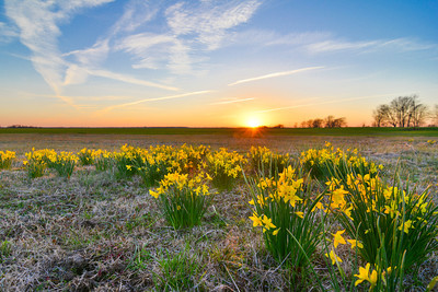 Early spring daffodils (N. jonquil) blooming along the edge of a winter wheat field. Near Tribbett, Mississippi - I hope the spring weather is here to stay this time! Taken 3-18-14. See more at www.instagram.com/johnmontfort