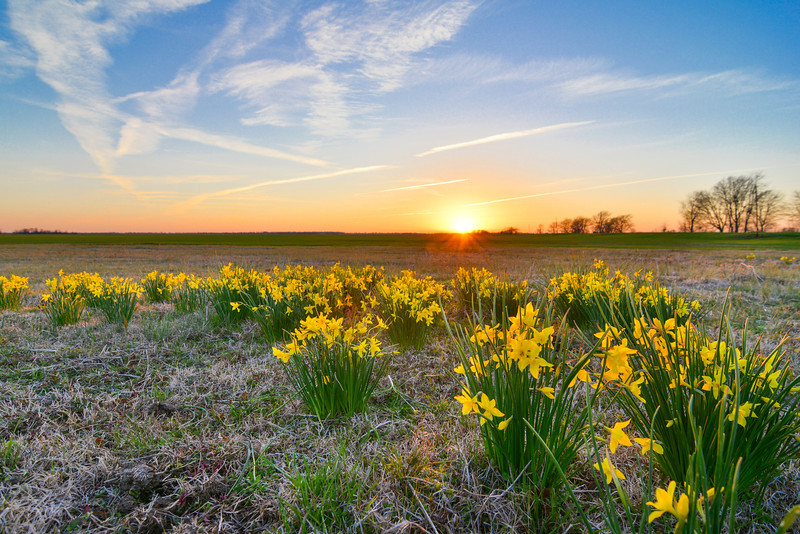 """Early spring daffodils (N. jonquil) blooming along the edge of a winter wheat field. Near Tribbett, Mississippi - I hope the spring weather is here to stay this time! Taken 3-18-14. See more at  <a href=""""http://www.instagram.com/johnmontfort"""">http://www.instagram.com/johnmontfort</a>"""