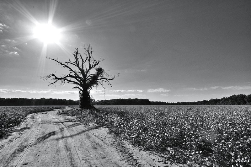 Lone tree in a cotton field near Holly Bluff, Mississippi. Like if you love cotton!