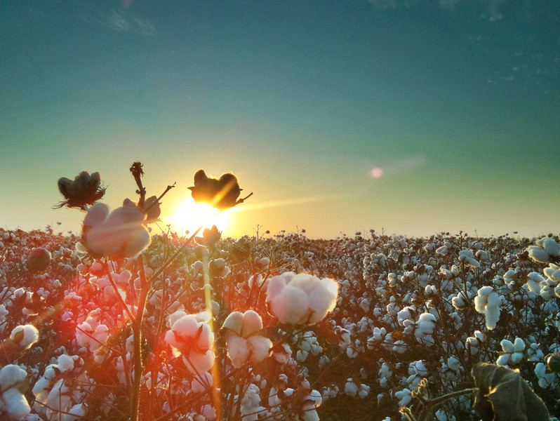 Sun rays streaming from behind a boll of Cotton - Holly Ridge, Mississippi