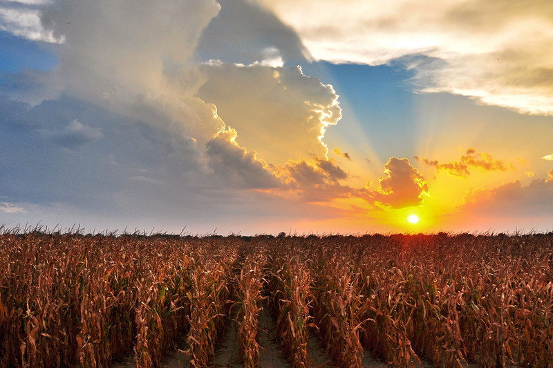 Sunset over a Deer Creek corn field - near Arcola, Mississippi