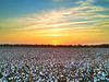 Mississippi Delta Cotton Field at Sunset - Shaw, Mississippi