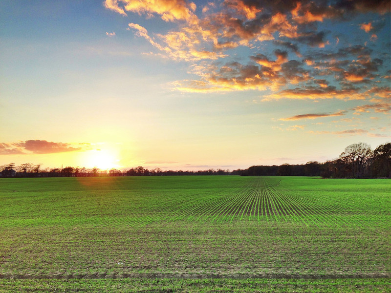 Winter Wheat near Carter, Mississippi