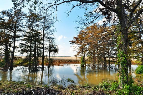 Cotton across the bayou on St. Rest Plantation