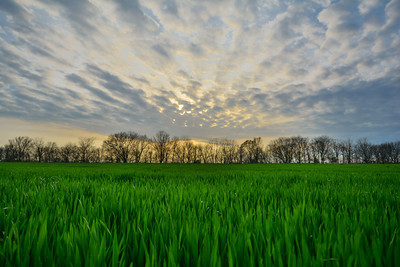 Spring sunset over a field of winter wheat - near Leland, MS