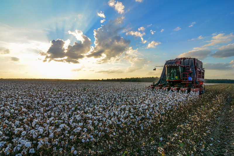 "Red, White, and Blue! - Cotton in the Mississippi Delta may be hard to find this year, but when you do see it, it is beautiful! - near Yazoo City, Mississippi. See more photos  <a href=""http://www.instagram.com/johnmontfort"">http://www.instagram.com/johnmontfort</a>"