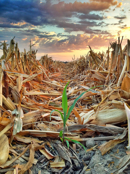 Volunteer corn sprouting from a cob, post-harvest - near Glendora, Mississippi on Due West Plantation