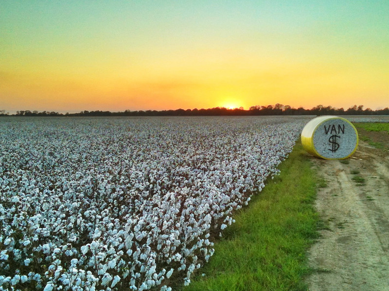 Dollar Cotton - Choctaw, Mississippi