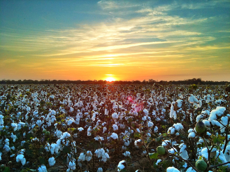 Delta Cotton Field - Shaw, Mississippi