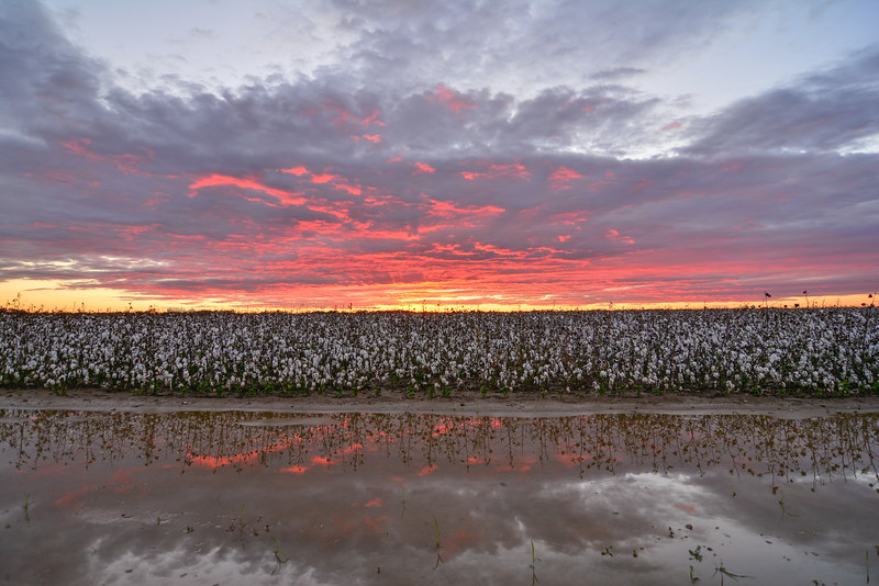 Killer sunset this week over a gorgeous cotton field on Bretlind Farms near Dunleith, Mississippi. Even after a 5 inch rain, this field is still looking strong! <br /> <br /> Keep up with me in Instagram at instagram.com/johnmontfort<br /> Feel free to share!